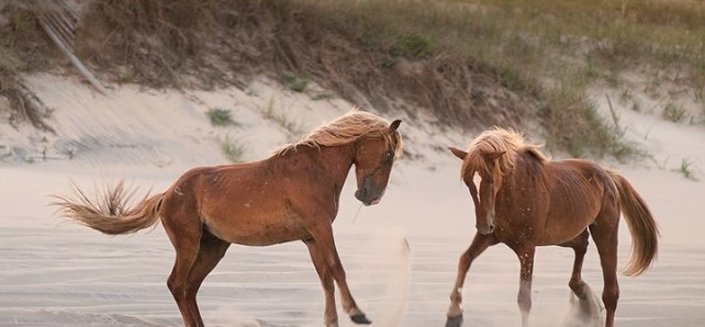 When you take a tour with the Corolla Wild Horse Fund, ALL proceeds benefit the management and protection of the wild herd, AND include a one year membership!