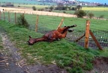 Horse in barbed wire