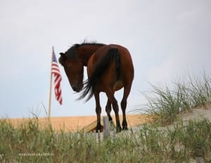 Mare on the dune with American flag 11x14 72dpi