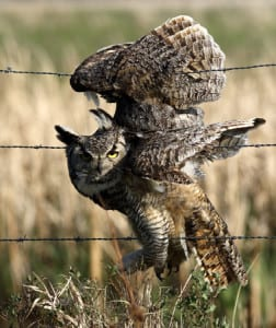 owl in barbed wire
