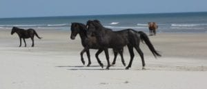 corolla wild horses - horse tours