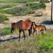 Corolla Wild Horses - Foal naming Contest