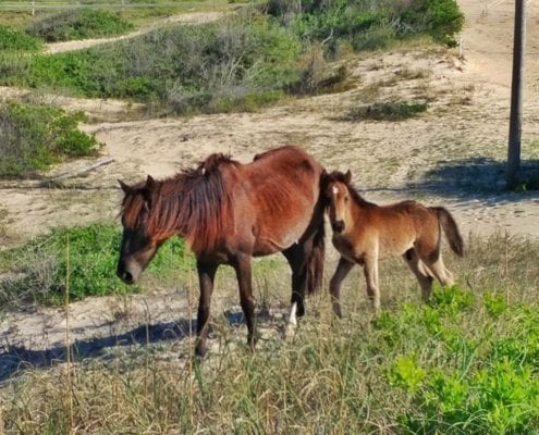 Corolla Wild Horses - Foal naming Contest