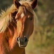 Corolla Wild Horse Fund Response to the Coronavirus (COVID-19)